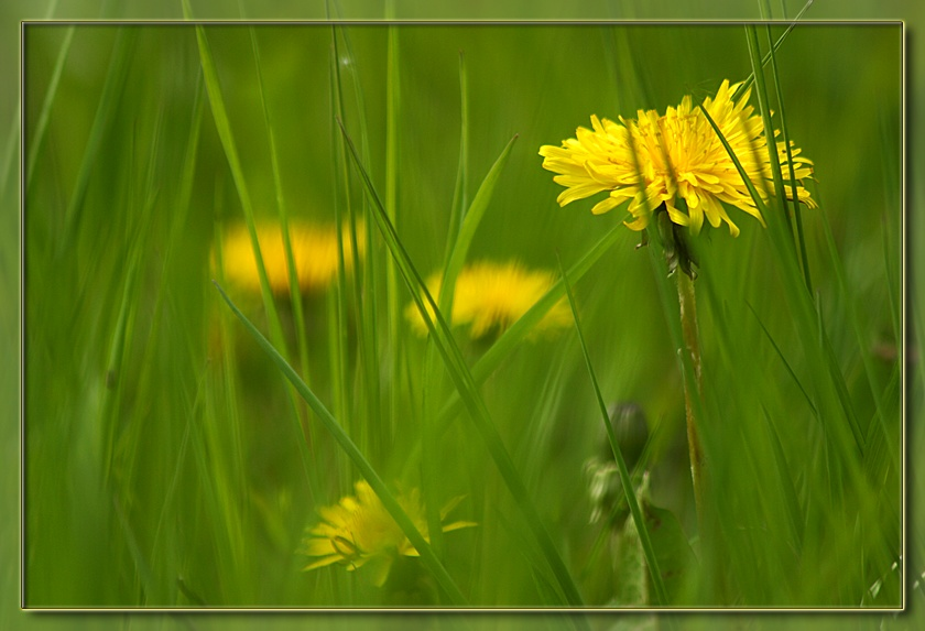"photo ""Dandelion 1"" tags: misc., nature, flowers"