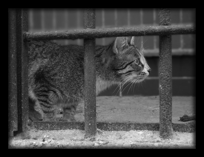 "photo ""Cat-2"" tags: nature, black&white, wild animals"