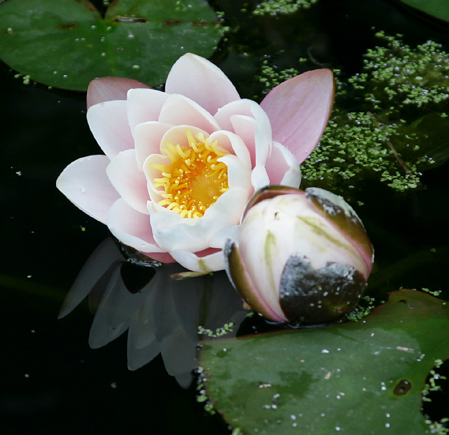 "photo ""Water Lilies"" tags: nature, flowers"