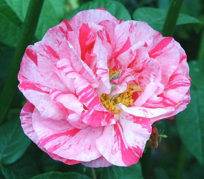 "photo ""Rosa Mundi"" tags: misc.,"