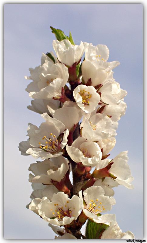 "photo ""Sakura"" tags: macro and close-up, nature, flowers"