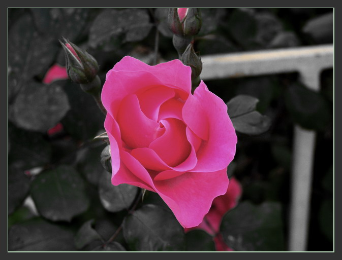 "photo ""Rose"" tags: nature, flowers"