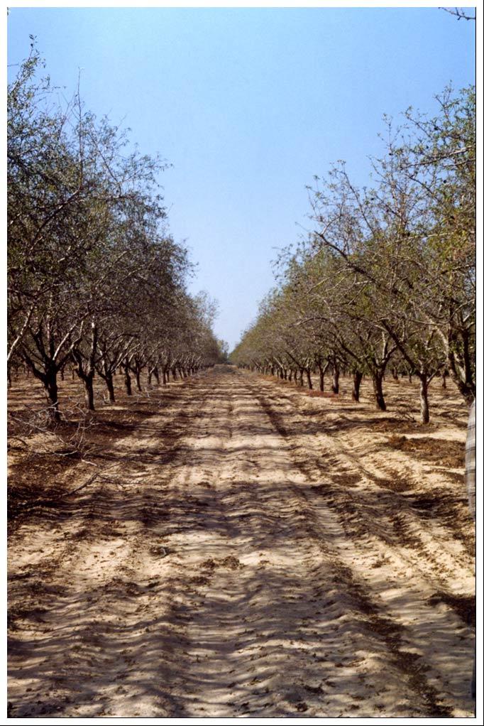 "photo ""Almond garden"" tags: landscape, forest, summer"
