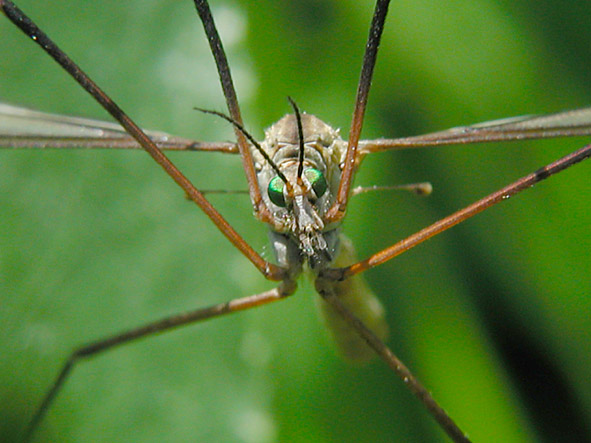 "photo ""Big mosquito"" tags: macro and close-up,"