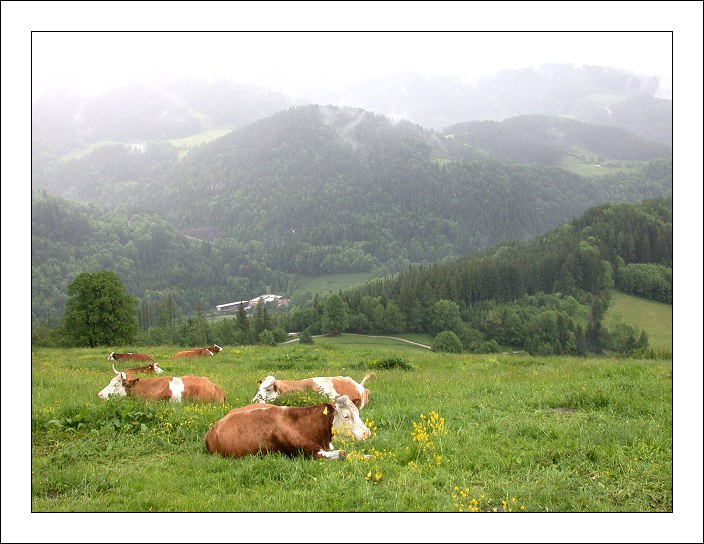 "photo ""Holy Cows"" tags: landscape, nature, mountains, pets/farm animals"