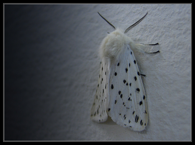 "photo ""Royal shawl"" tags: nature, insect"