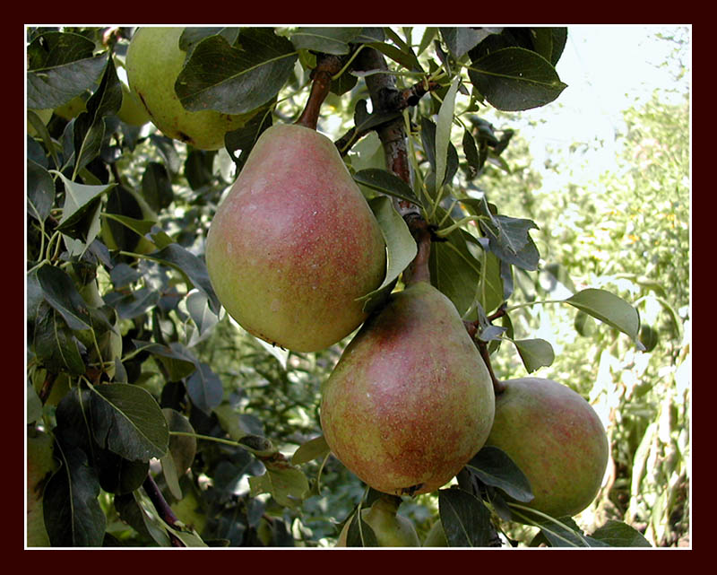 "photo ""Pears"" tags: misc.,"