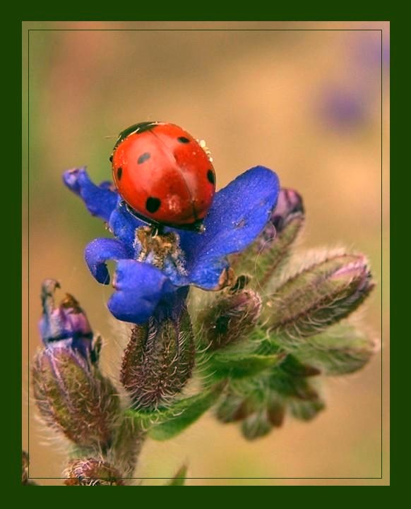 "photo ""ladybird"" tags: nature, wild animals"