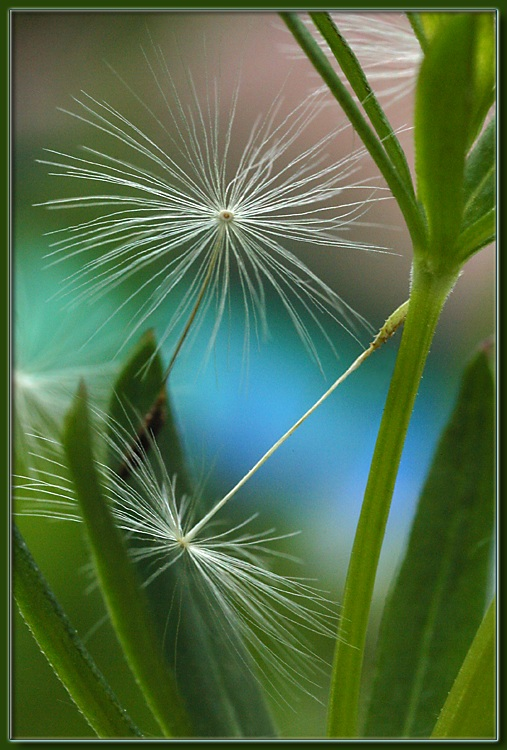 "photo ""Dandelion 3"" tags: misc., macro and close-up,"