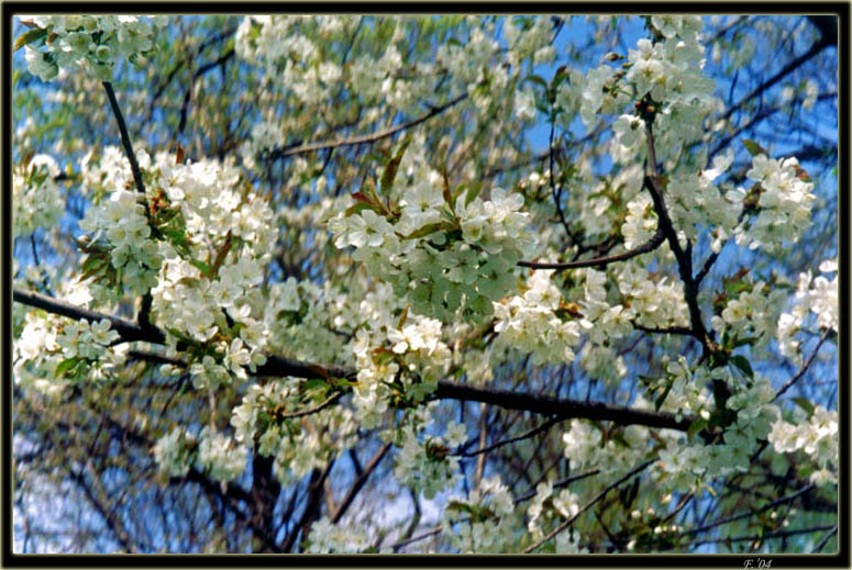 "photo ""Apple-tree branch"" tags: landscape, nature, flowers, spring"