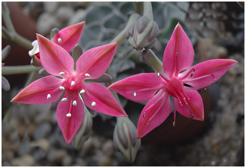 "photo ""Graptopetalum bellum"" tags: nature, macro and close-up, flowers"