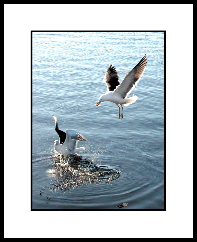 "photo ""gulls"" tags: nature, wild animals"