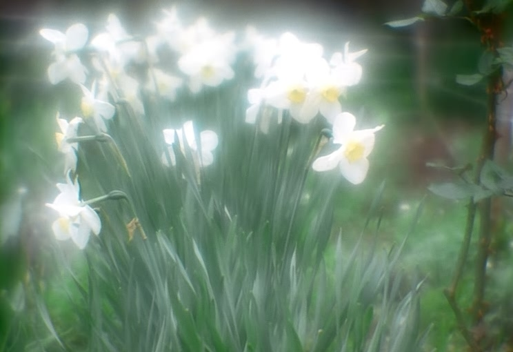 "photo ""Meeting of Narcissuses..."" tags: nature, flowers"