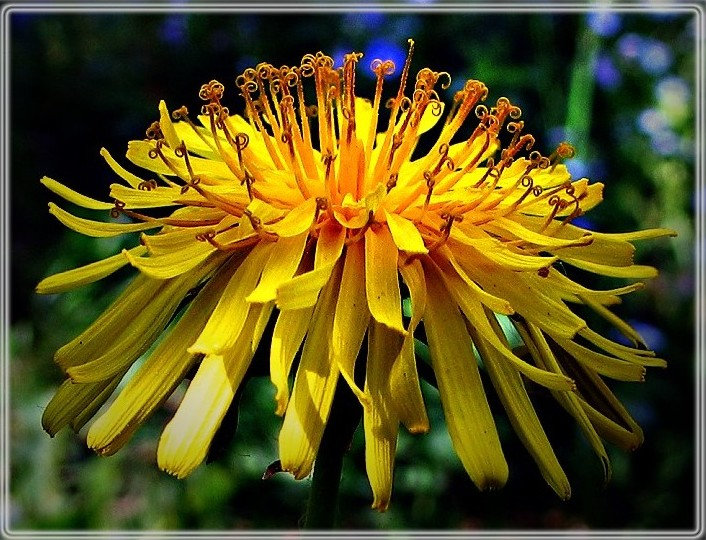 "photo ""Dandelion"" tags: nature, macro and close-up, flowers"