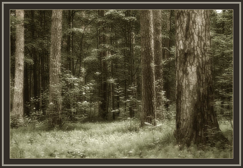 "photo ""Rhythm of Forest"" tags: landscape, montage, forest"