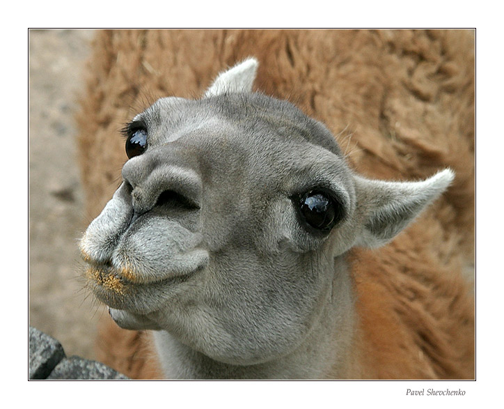 "photo ""Lama (Guanako)"" tags: nature, wild animals"