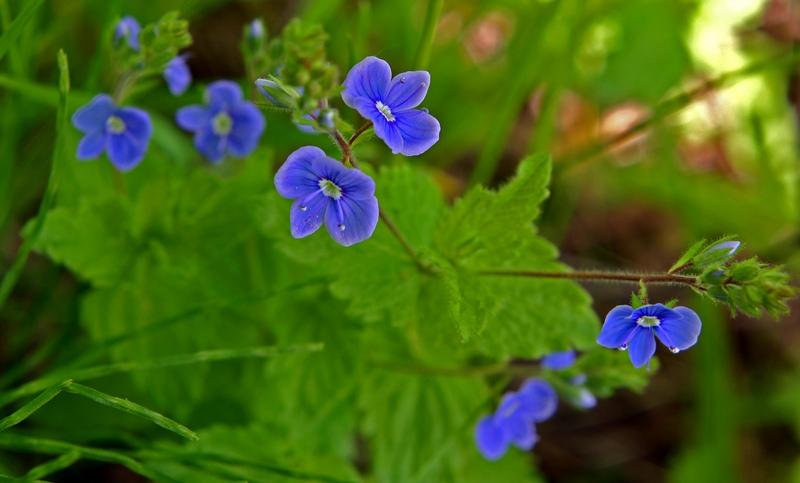 "photo ""Myosotis sylvatica"" tags: nature, flowers"