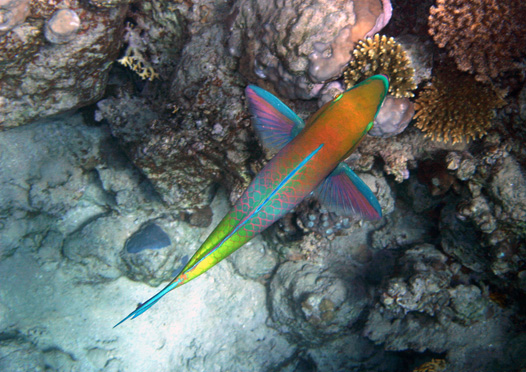 "photo ""Parrot-fish (I) / A hedge-hopping flight"" tags: travel, underwater, Africa"