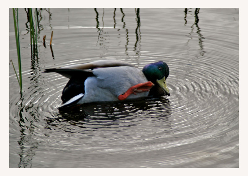 "photo ""Strange duck"" tags: nature, wild animals"