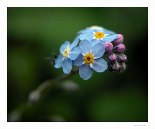 "photo ""bleu"" tags: macro and close-up, nature, flowers"
