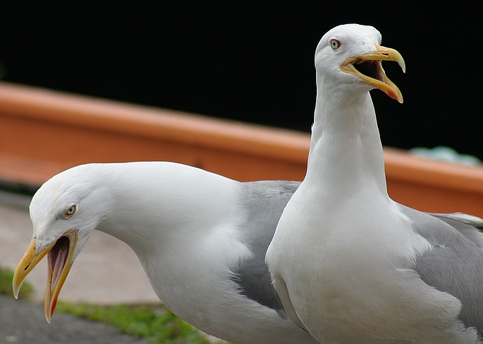 "photo ""2 seagulls"" tags: nature, wild animals"
