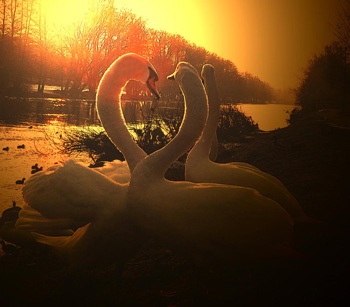 "photo ""Swan love"" tags: nature, genre, wild animals"