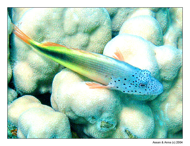 "photo ""Unknown Goby from Red Sea"" tags: underwater, travel, Africa"