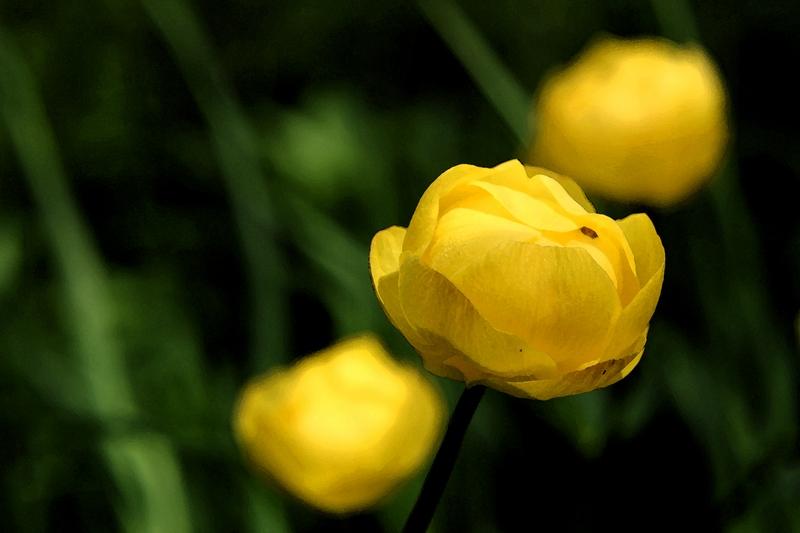 """фото """"Trollius Europaeus"""" метки: природа, цветы"""