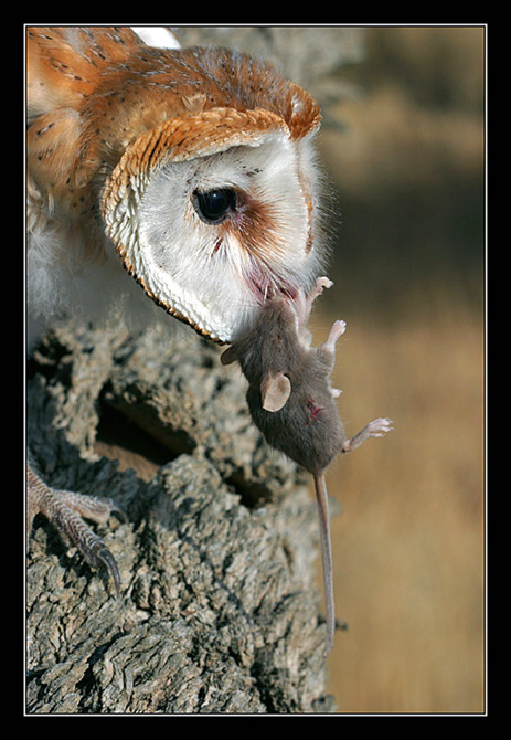 "photo ""Serial Killer - Barn Owls - Tyto alba"" tags: nature, wild animals"