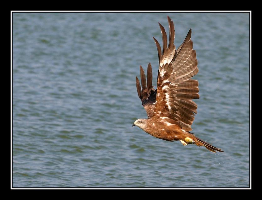 "photo ""Serial Killer - Black kite - Milvus migrans Boddae"" tags: nature, wild animals"