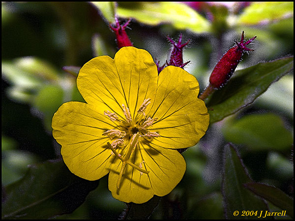 "photo ""Evening Primrose"" tags: nature, flowers"