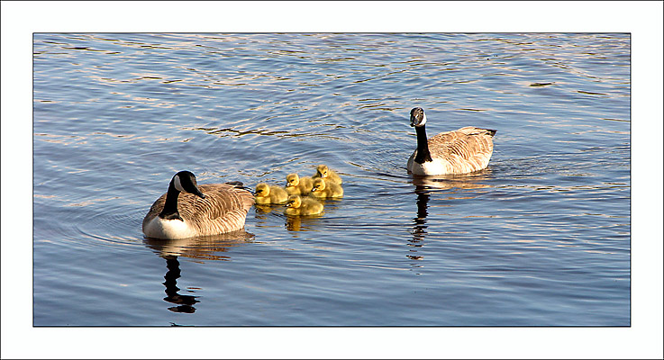 "photo ""Branta Canadensis"" tags: nature, wild animals"