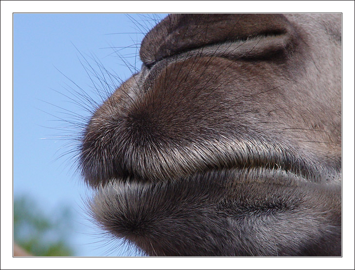 "photo ""The Camel"" tags: nature, macro and close-up, pets/farm animals"