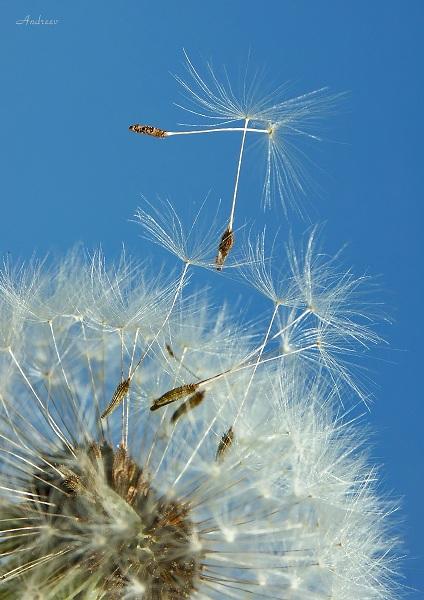 """фото """"Одуван ..."""" метки: природа, цветы"""