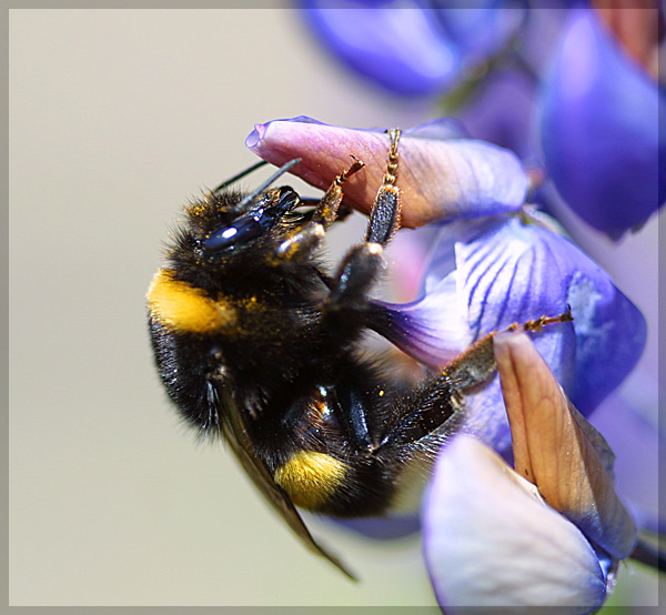 """photo """"Bee."""" tags: macro and close-up, nature, insect"""