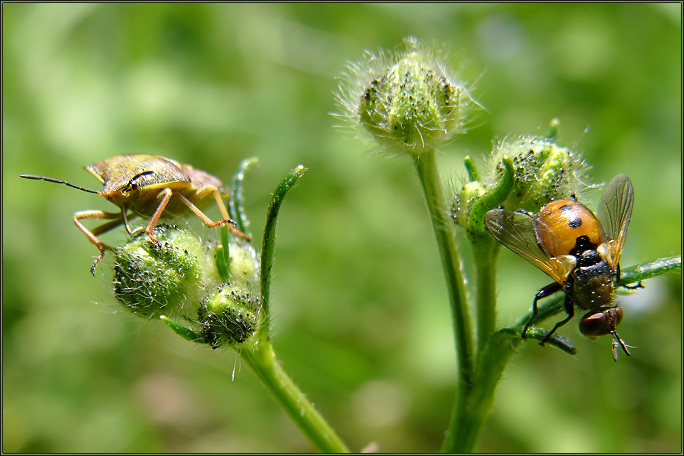 "photo ""As a bug and his girl-friend on a swing had a good"" tags: nature, macro and close-up, insect"