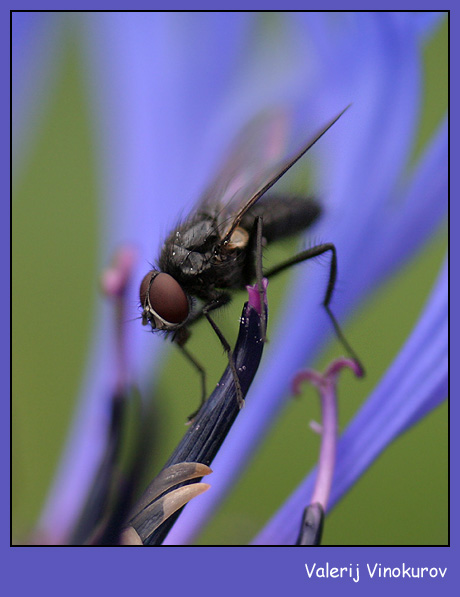 "photo ""The fly"" tags: macro and close-up,"