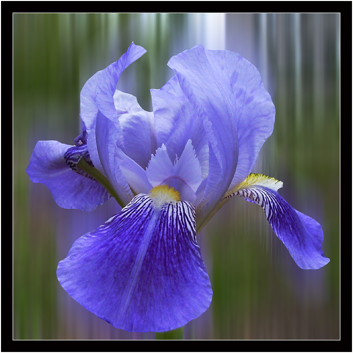 "photo ""Probably, it is an iris"" tags: macro and close-up, montage,"