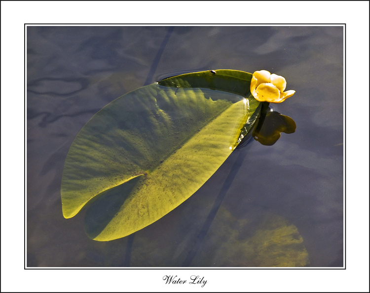 "photo ""Water Lily"" tags: nature, landscape, flowers, water"