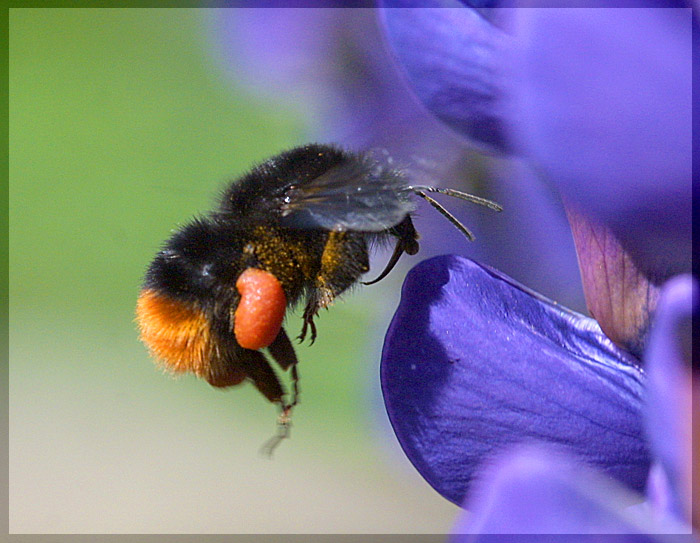 "photo ""Landing of a bumblebee"" tags: macro and close-up, nature, insect"