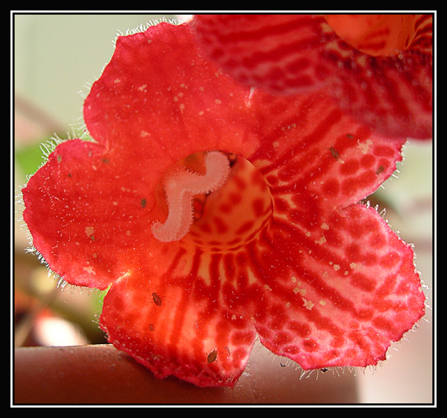 "photo ""red a floret"" tags: nature, macro and close-up, flowers"