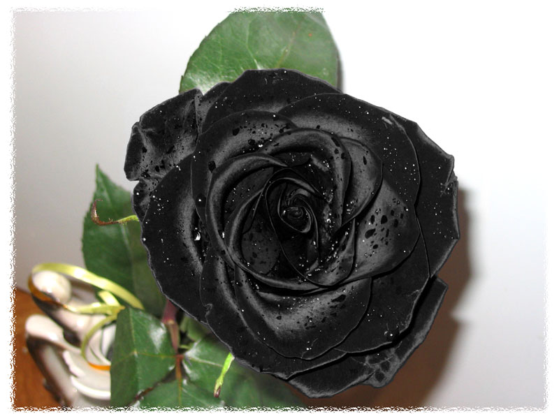 "photo ""Black rose"" tags: nature, flowers"