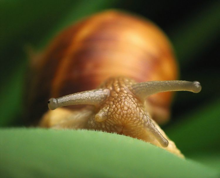 "photo ""Portrait of a snail"" tags: macro and close-up,"