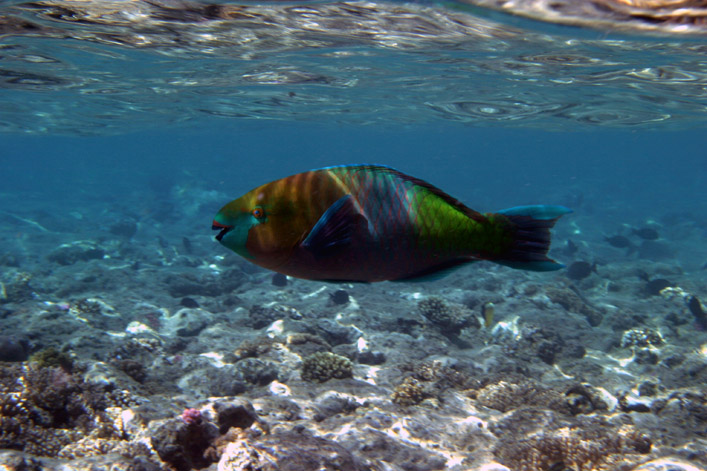 "photo ""Parrot-fish (II)"" tags: travel, underwater, Africa"
