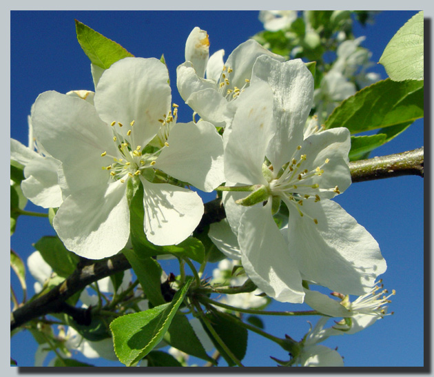 "photo ""Apple-tree flowering..."" tags: nature, macro and close-up, flowers"