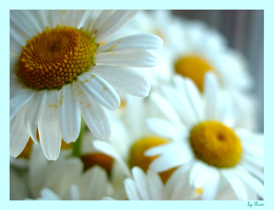 "photo ""Ox-Eye Daisy"" tags: macro and close-up,"