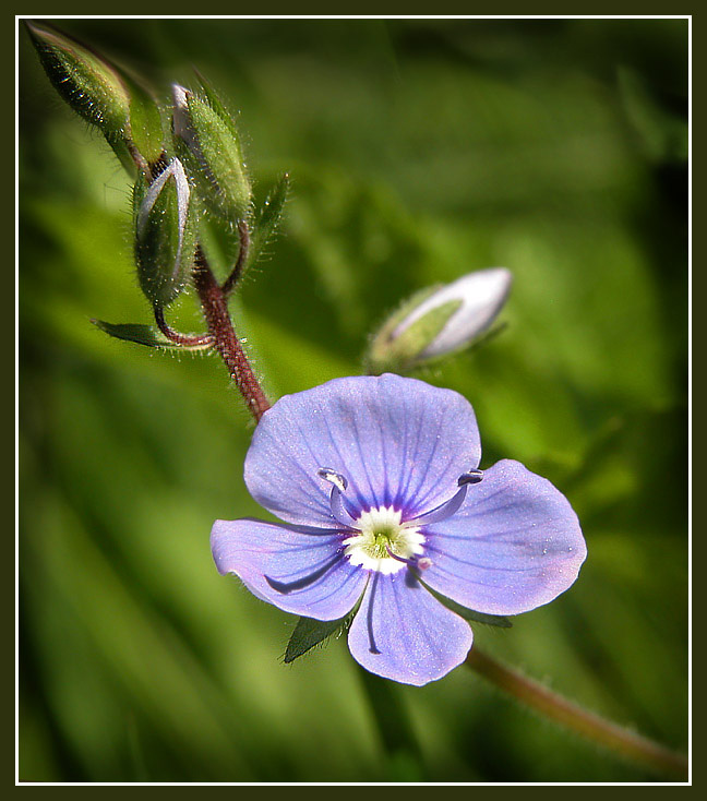 "photo ""Wood flower"" tags: nature, macro and close-up, flowers"