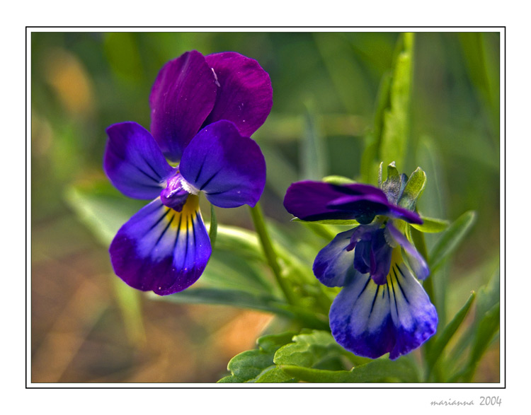 "photo ""Pansy"" tags: nature, flowers"