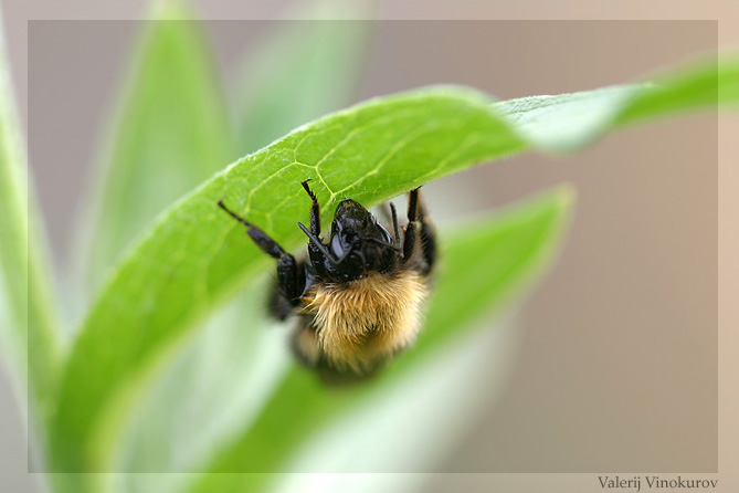 "photo ""Bumblebee"" tags: macro and close-up, nature, insect"