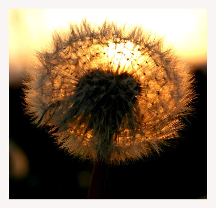 "фото ""Flower in the evning sun"" метки: природа, цветы"